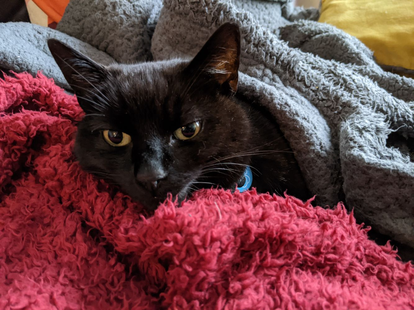 Black cat lying on a red blanket, wrapped up in a grey blanket, looking at the camera with big, cute eyes