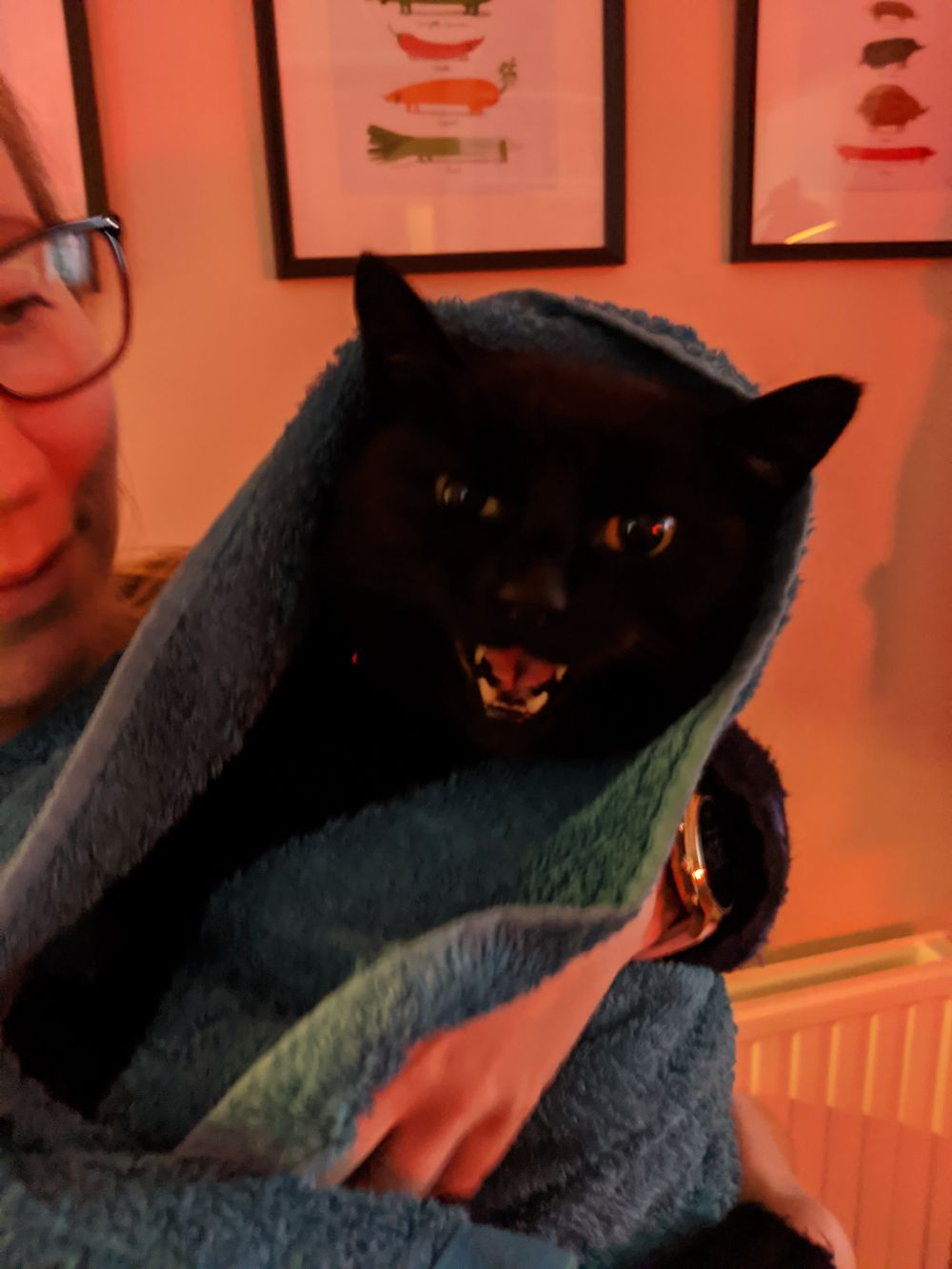 Black cat wrapped up in a blue blanket, being held by Anna, looking at the camera, a little more comfortable and happy