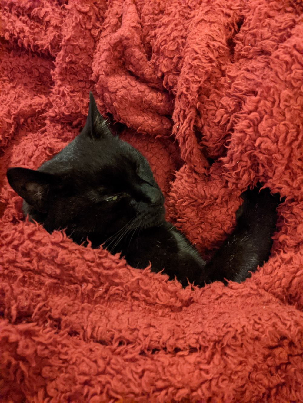 Black cat lying on a red blanket, which is all wrapped around him, looking up at the camera a little sleepily