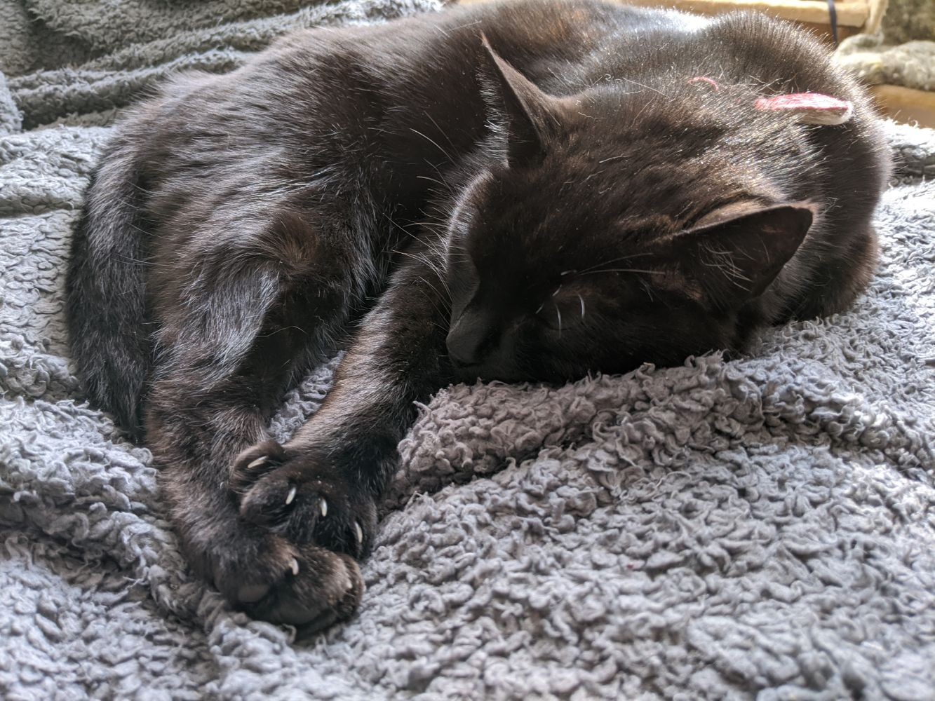 Black cat sleeping curled in roughly a heart shape, with all his paws collected in a puddle