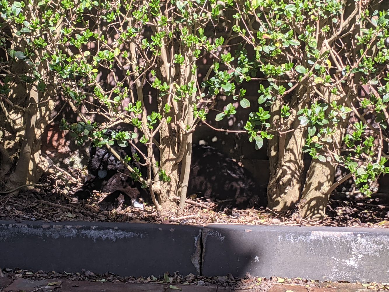 A bush, with a black cat ever so slightly visible in the undergrowth, sleepily looking out from his sun trap