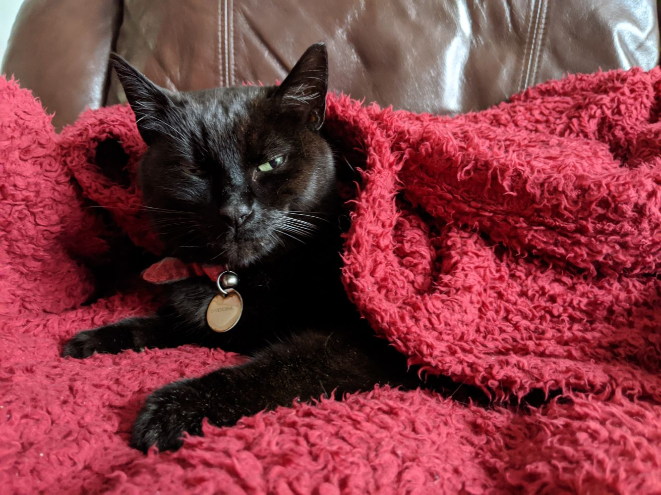 Black cat sitting up, wrapped up in a red blanket, and looking at the camera with appreciation