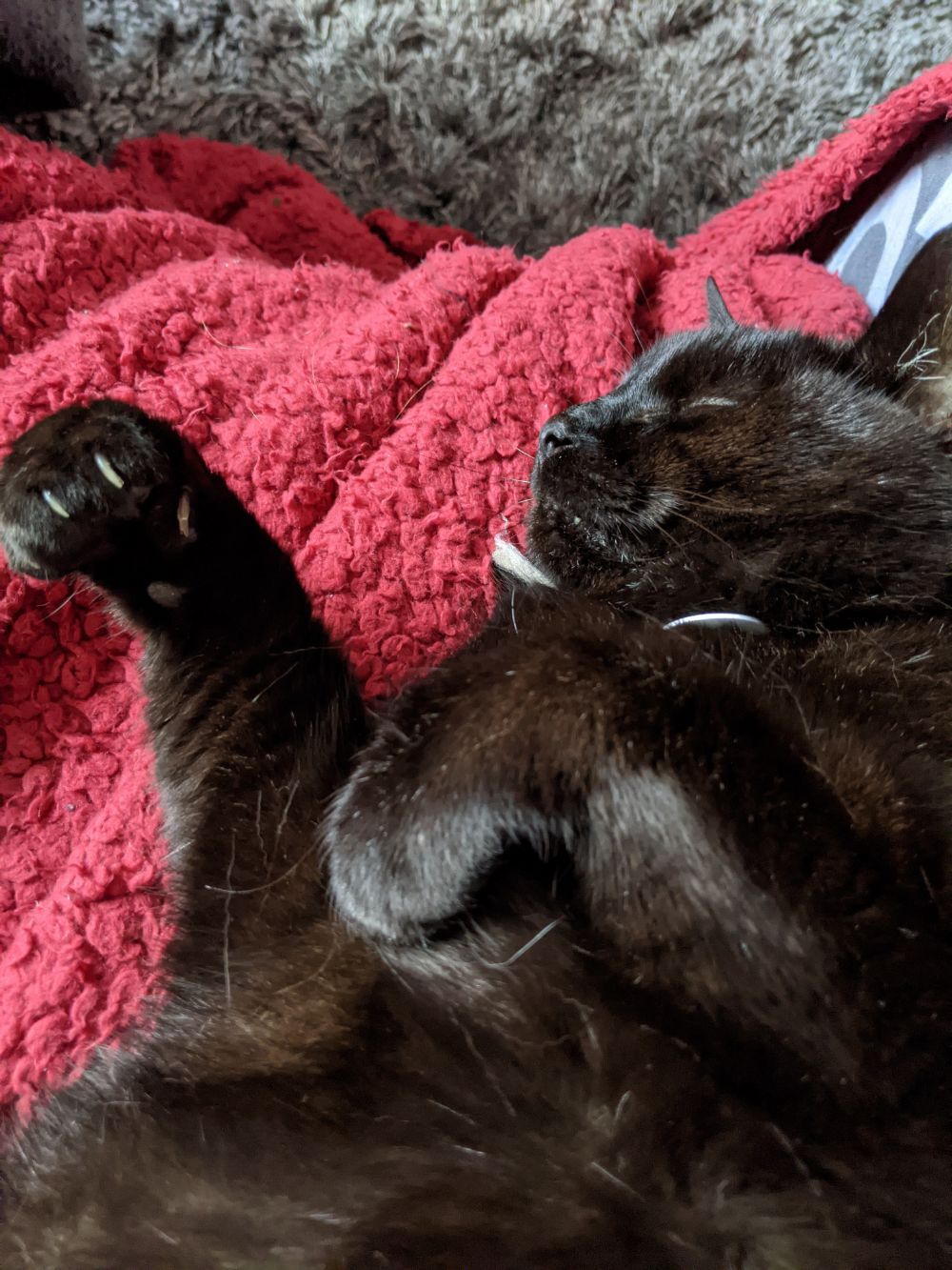 A black cat, lying on his back on a red blanket, with his paws super curled